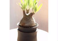 パキポディウム グラキリス raw life factory pot