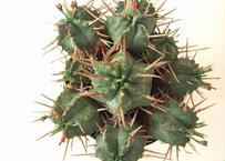 Euphorbia pulvinata 笹蟹丸