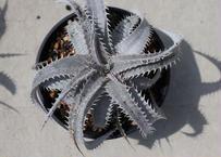 Q ディッキア ハイブリッド 7種 初めて植物育てる方向け♪