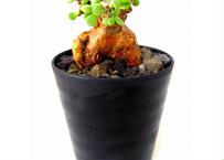 Ceraria pygmaea ケラリア・ピグマエア  №3