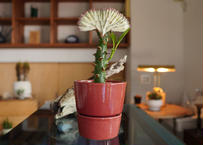 ユーフォルビア  ラクテア  マハラジャ  Euphorbia lactea  f.cristata