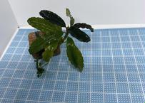 Bucephalandra sp  sp Red cherry 送料無料