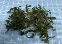 Bucephalandra sp Mini Purple 送料無料