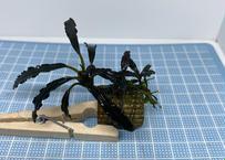 Bucephalandra sp Velvet 3 Color 送料無料