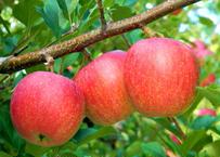 青森県産 リンゴ詰合せ 5kg箱