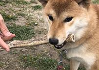 【犬のおやつ】鹿の角(2俣)× 2本【送料無料】