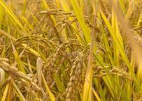 令和2年熊本県産「ひのひかり」5kg 無農薬・無化学肥料栽培(植物、動物性堆肥使用)