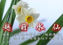 【予約販売】露地物_越前水仙_50本