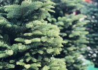 オレゴン産モミの木Oregon Abies Firma / 100cm(3feet)※配送料別途