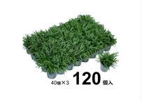 タマリュウ120個入【ポット】石井の玉竜          (一部地域 送料無料)