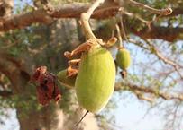About Baobab