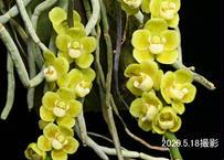 Chiloschista parishii 花付き株(花芽5本立)