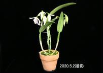 C. maxima fma. semi-alba × sibling ツボミ付株