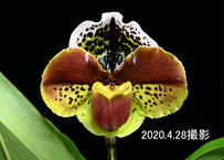 Paph. New Yorker 選別個体 花付き株