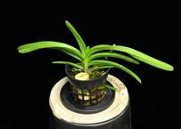 Van. Kedah Bella (V. veitnamica × Rhy. coelestis) 実生未開花株