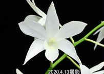Den. White Grace 'Sato' AM-CCE/AOS 花付き株