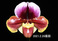 Paph. (Nupurubet x California Girl) 花付き株