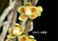 Chiloschista ramifera 花付き株(花芽3本立)