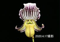 Paph. fairrieanum 花付き株
