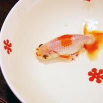 【有田焼】小花~「どんぶり金魚」オススメ・最適どんぶり~
