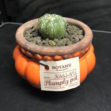 Astrophytum兜+PLUMPLY POT