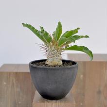 Pachypodium namaquanum  光堂
