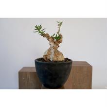 Pachypodium bispinosum   3011162