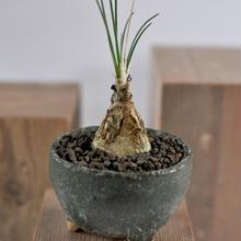 Ornithogalum juncifolium   3012142