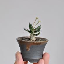 Euphorbia tulearensis 3009121