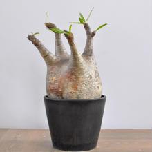 Pachypodium rosulatum var. gracilius 3009121