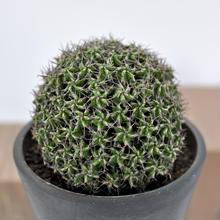Euphorubia mitriformis 接木
