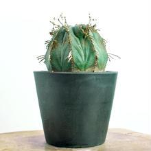 Euphorbia valida no.2