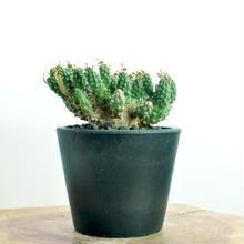 Euphorbia gamkensis