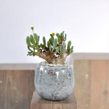 Othonna clavifolia   3012262