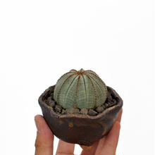 Euphorbia obesa 3008312