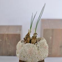 Ornithogalum juncifolium   3012262