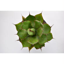 Agave bovicornuta 3011221