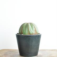 Euphorbia obesa no.2 2018.01.12