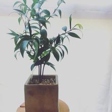 観葉植物 ナギ