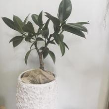 観葉植物 フィカスバーガンディー