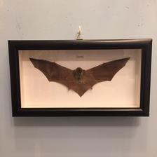 蝙蝠の標本