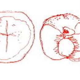 黄金桃とネーブル 110g Peche-jaune&Orange