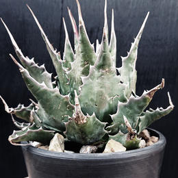 "Agave Montana ""Long Spine Type"" 3"