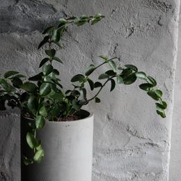 ホヤ クミンギアナ  indoor plants M size 現品