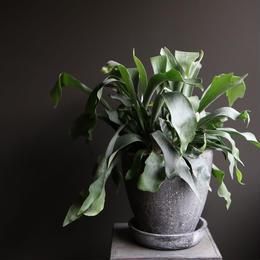 コウモリラン indoor plants  M size  現品