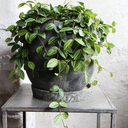 ペペロミア indoor plants  M size  現品