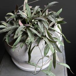 ホヤ シギタンティス indoor plants M size  現品