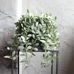 ディスキディア indoor plants  M size   現品
