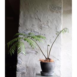 リュウビンダイ plants  M size