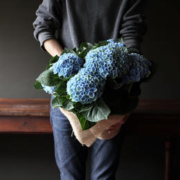 あじさい マジカルレボリューション ブルー 母の日ギフト  mother's day plants M size